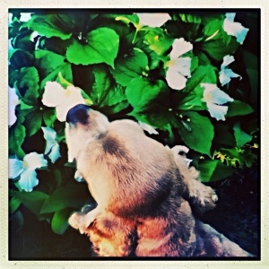 Fiona taking time to sniff the flowers...