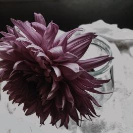 gfancy_dahlia_pause-1
