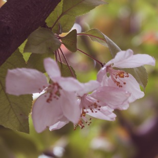 gfancy_crabapple_bokeh