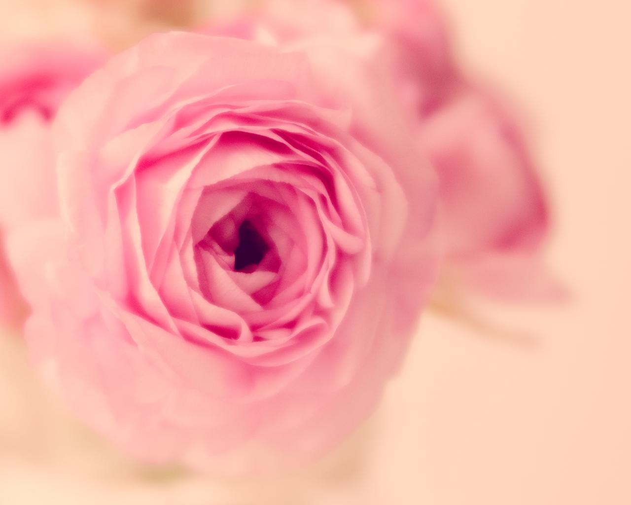 btl_pink.ranunc_parisian_macro