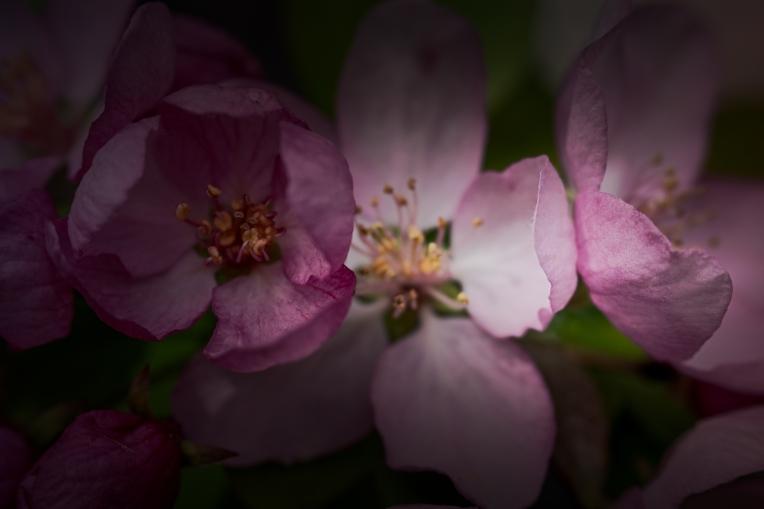 btl_blossoms_dark