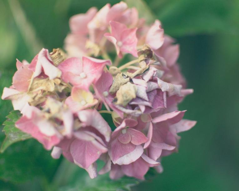 gfancy_corny_pink.hydrangea_dreamylts