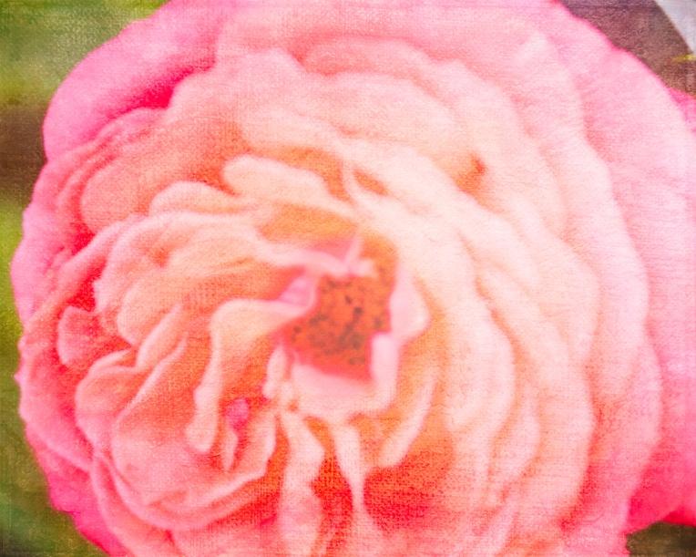 btl_corny_rose_oldmasster15