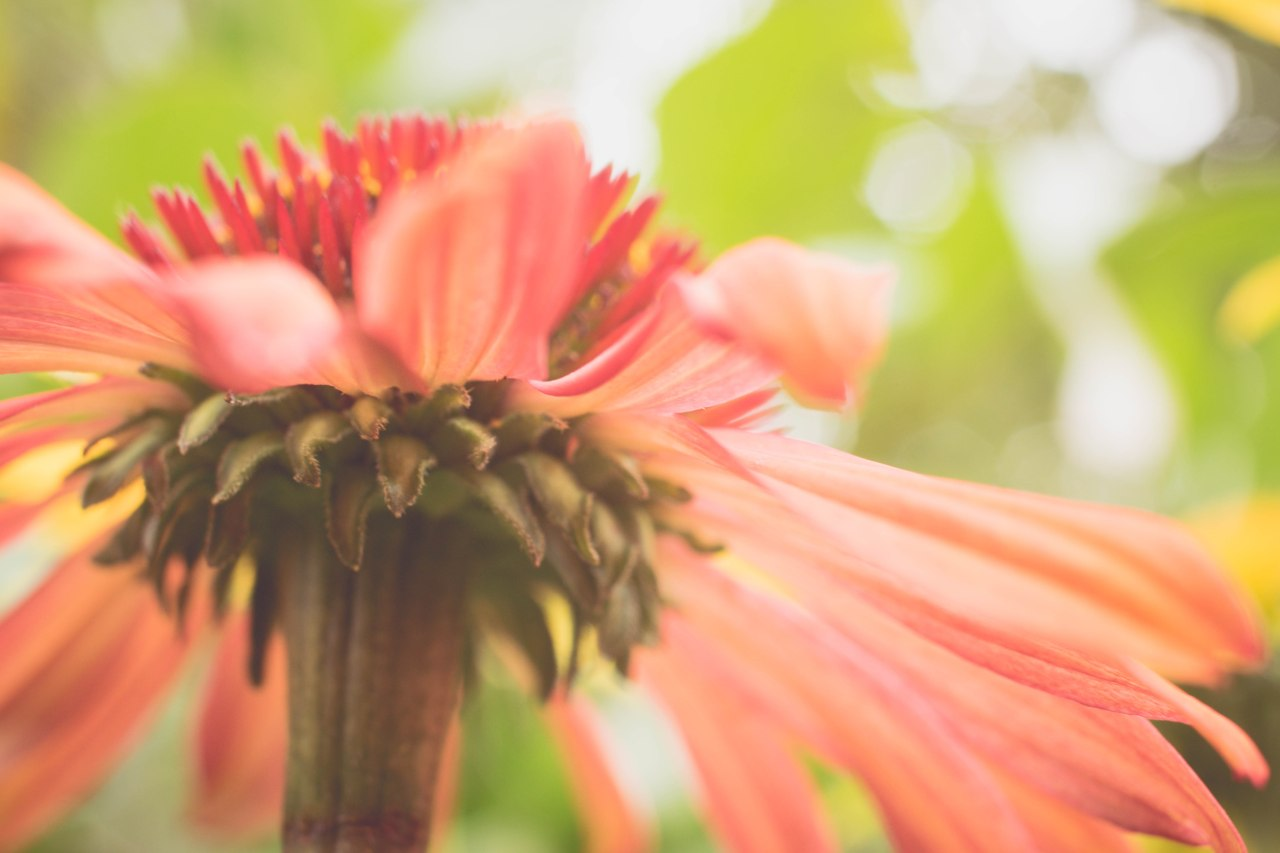 gfancy_coneflower_fairy14 (1 of 1)